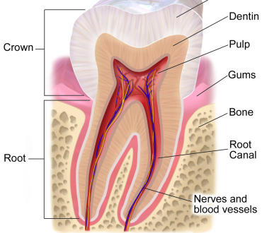 Is It Possible To Regrow Tooth Enamel?